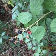 Black Raspberry Memories