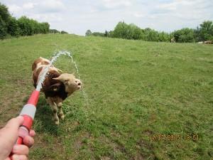 Thirsty Baby Bull!