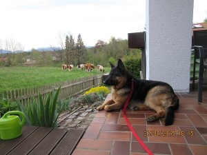 Gracie-our German Shepard Dog