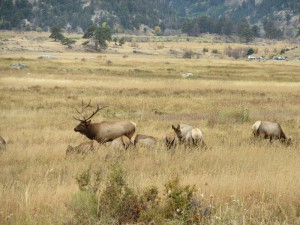 Bull elk and his harem