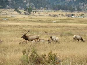 Bull elk and his harem
