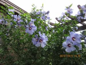 Hibiscus Featured Image