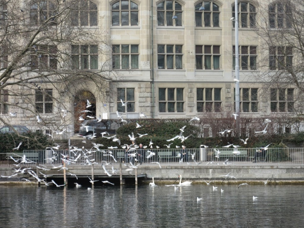 Swans and Gulls