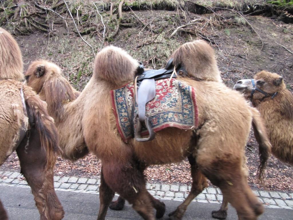 Camels 5