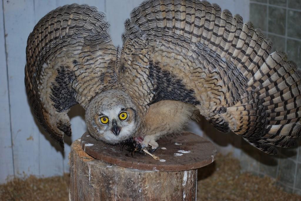 Owlet 2016DSC_0339_Mantling