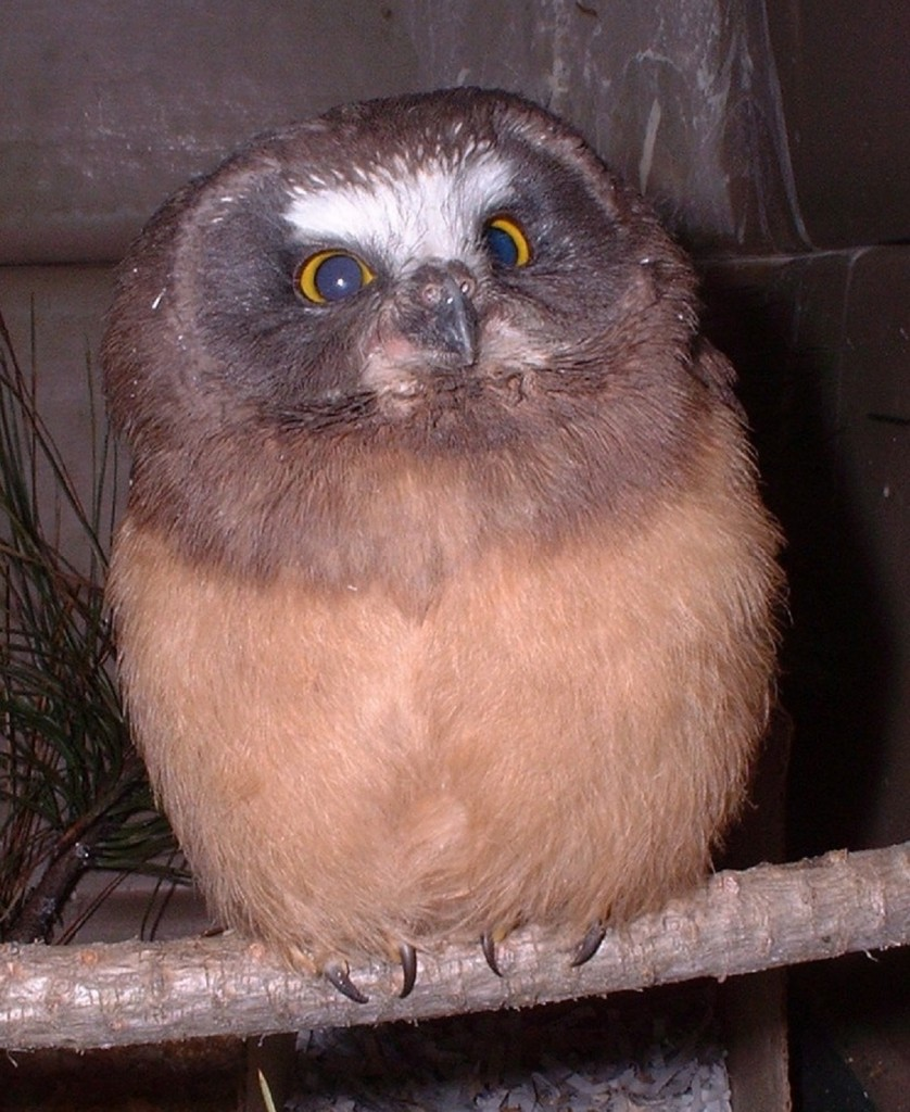 Saw Whet Owl PM_little tiny