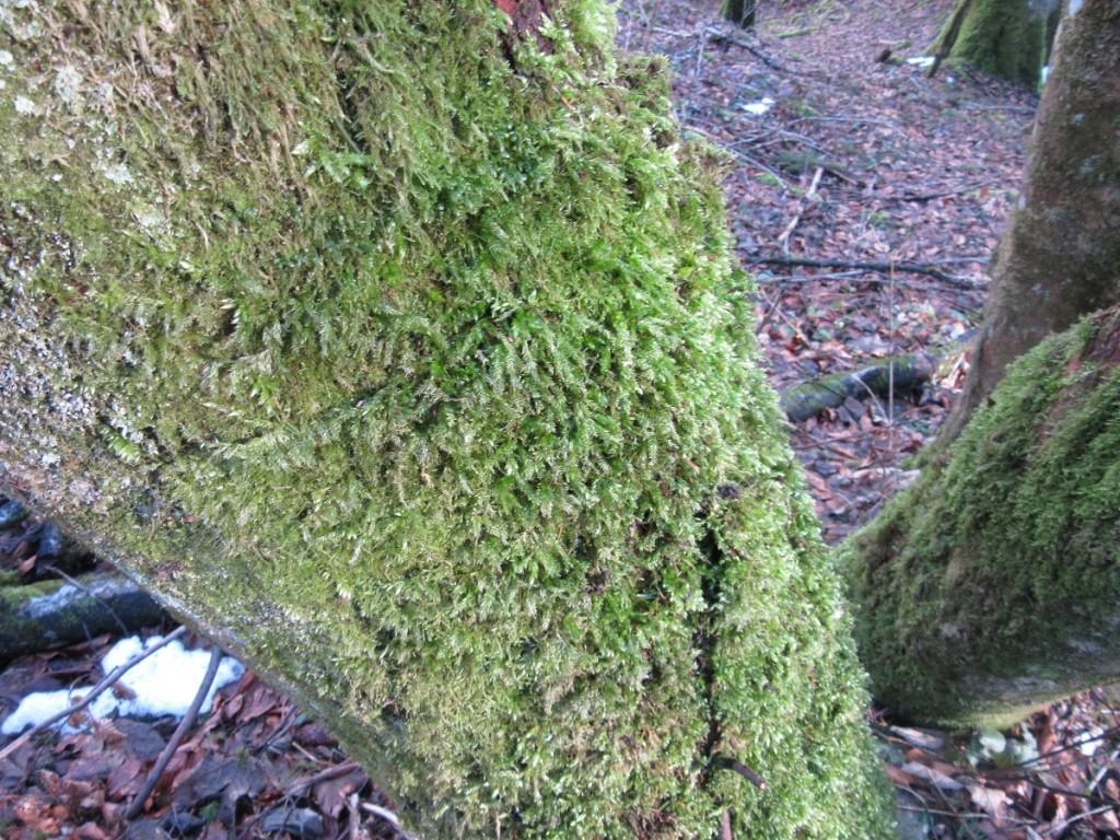Soft green Moss