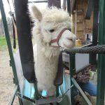 Kettle Ridge Alpaca Working Day
