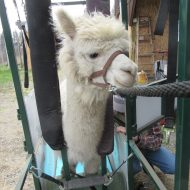 Kettle Ridge Alpaca Working Day