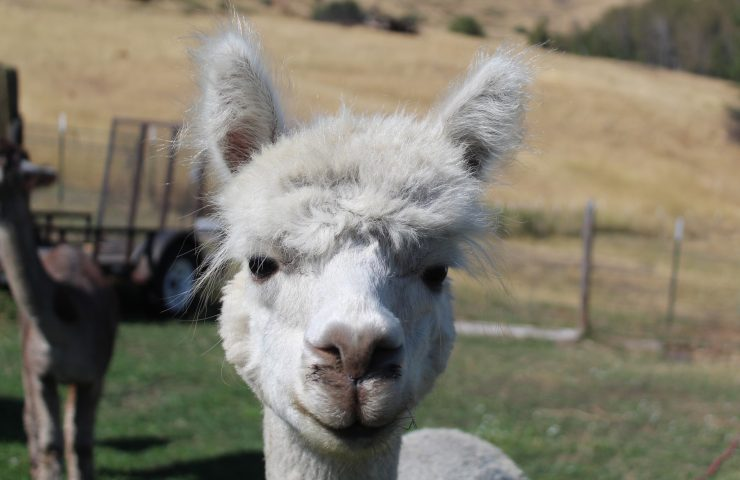Alpacas, because why??